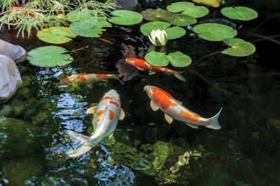 Botanical Gardens Koi