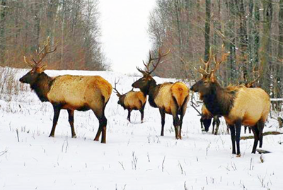 DNR announces first state elk hunt in Northern Wisconsin this fall