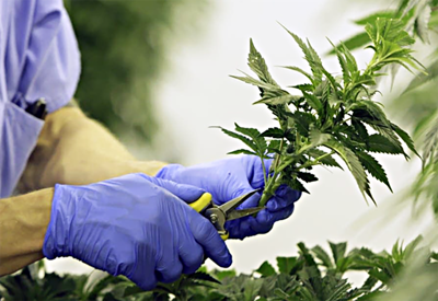 Legalizing marijuana: Can Minnesota learn from other states?
