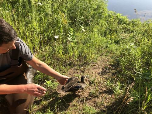 Duck banding is part of an international effort
