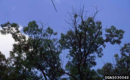 Oak trees in decline