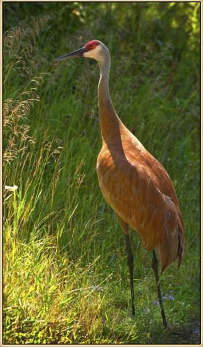 Drama In World Of Birds Sandhill Crane >> Proposed Sandhill Crane Hunting Hotly Debated In Midwest News
