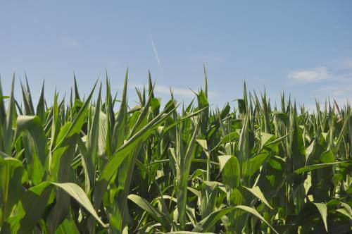 Late corn planting has farmers deeply worried about early frost
