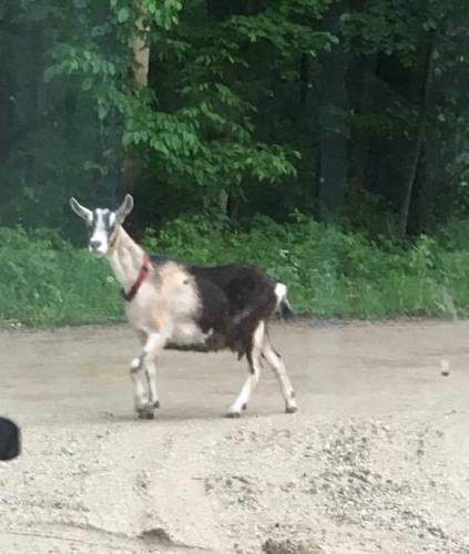 Harrietta goat still on the run, owner keeps looking