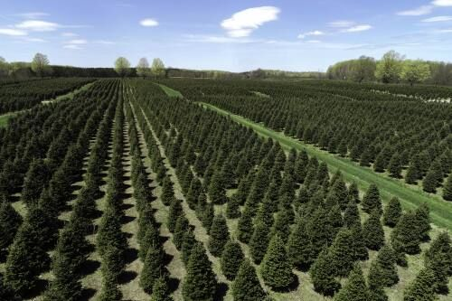 Christmas tree industry gearing up for busy holiday despite pandemic