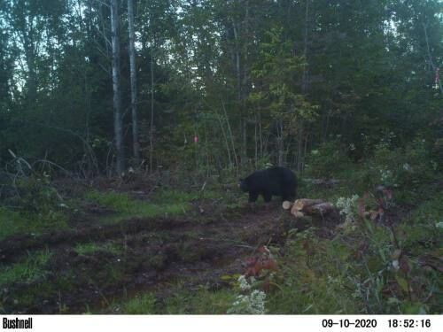 14-year-old Cadillac freshman bags 300-pound black bear in U.P.