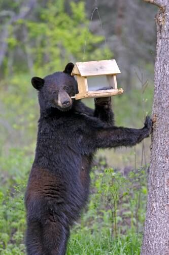 This time of year bears emerging looking for food, bird feeders