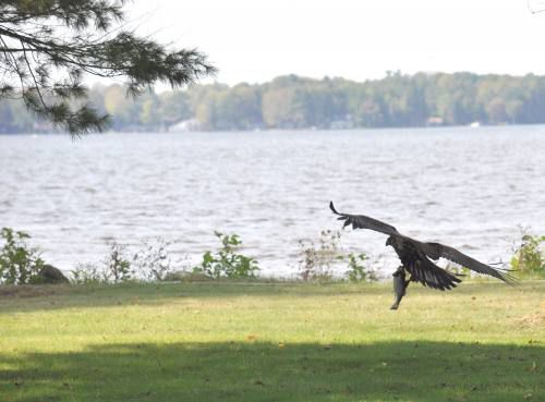Young bald eagle snatches some lunch out of Lake Mitchell