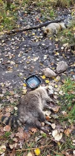 Hunter admits poisoning raccoons that were eating his (illegal) deer bait