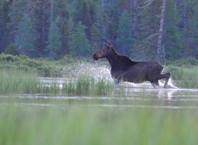 North Country-NEK:2020-2021 Was A Challenging Winter For Moose Populations