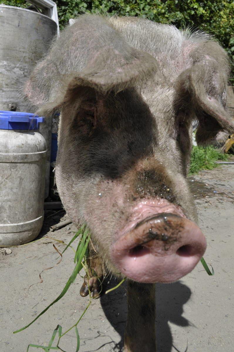East Barnet 'Free Range' Pig Racks Up $933.98 In Damages