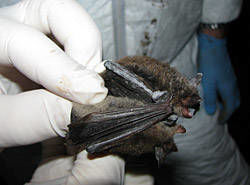 North Country:Bats Still Struggling From White Nose Syndrome