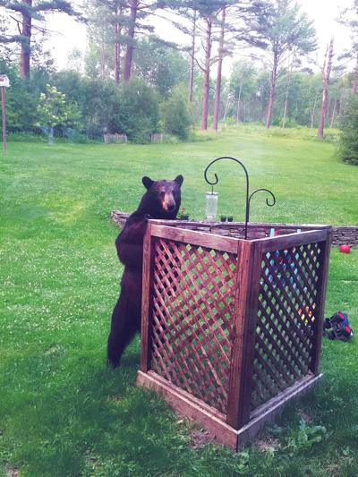 Backyard Black Bear In Sheffield