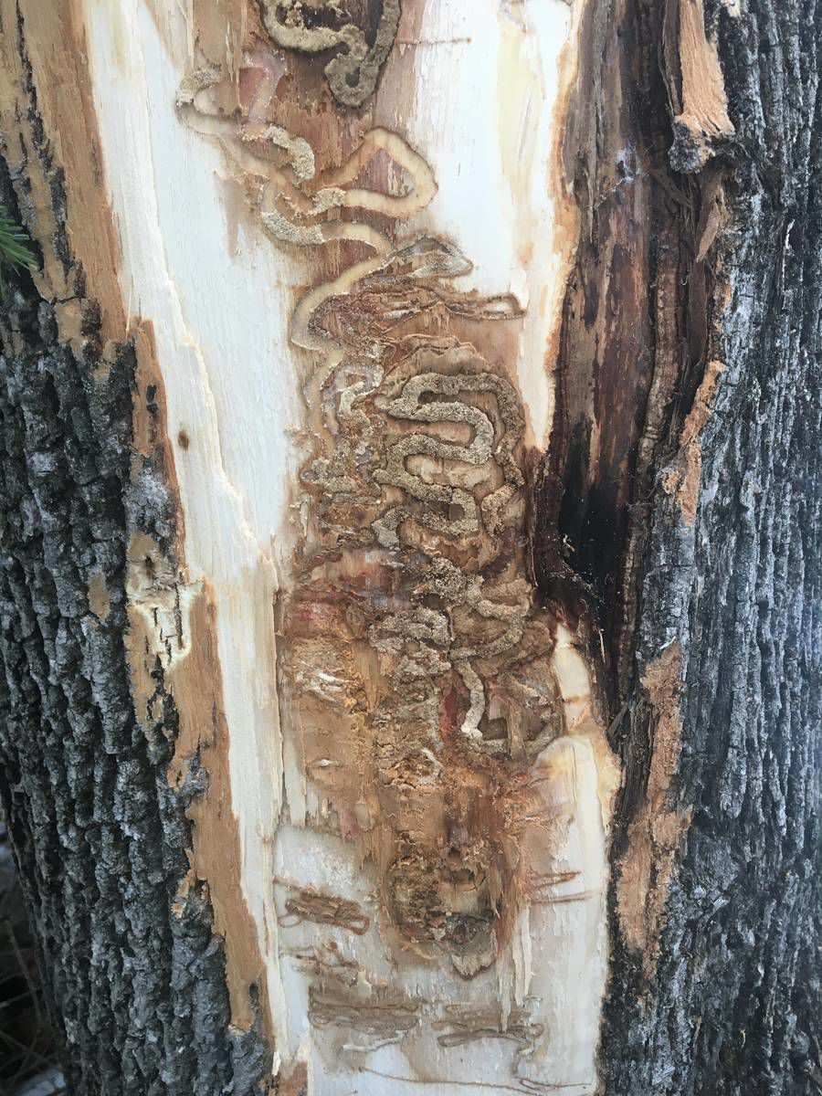 Derby Doing Survey For Insect-Damaged Mountain Ash Trees