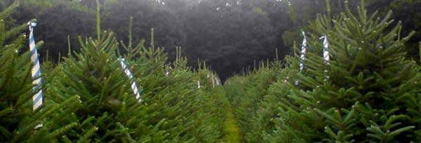 Christmas Tree Farms In Nh
