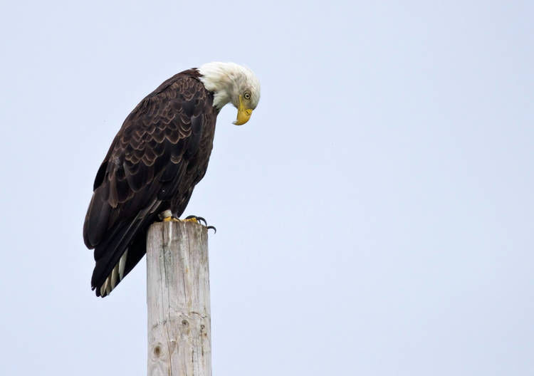 Majestic Bald Eagle At Home Again In NEK | News | caledonianrecord.com