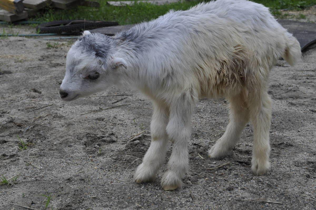 Miracle Goat Takes First Steps