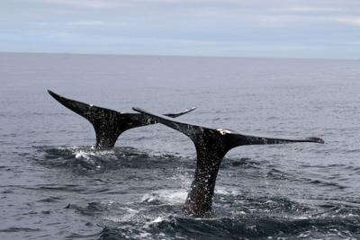Gray whales.jpg