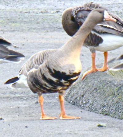 Migrating birds travel relatively short — or quite long distances