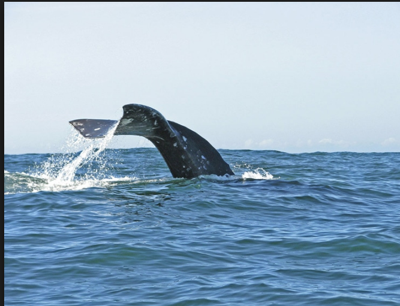 'Whale Watching Spoken Here'
