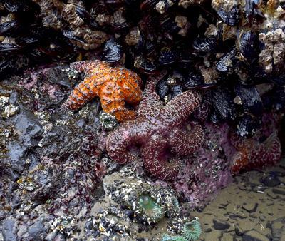 Sea star wasting unusually high at Haystack Rock