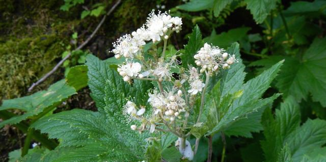 New plant species identified on mountain near Arch Cape