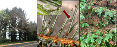 spruce aphid.png