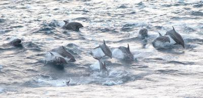 Tropical dolphins are appearing in Pacific Northwest waters