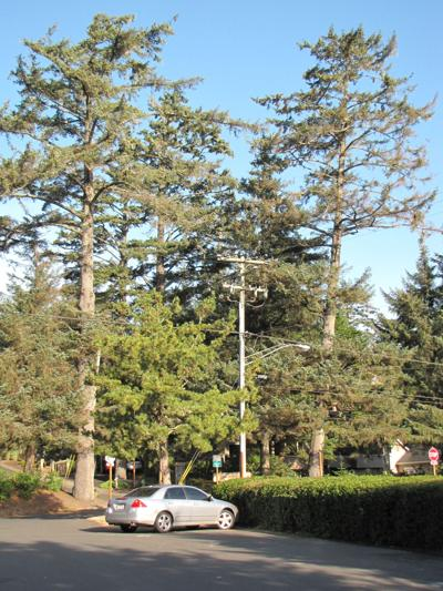Cannon Beach wants to evaluate all trees before taking them out