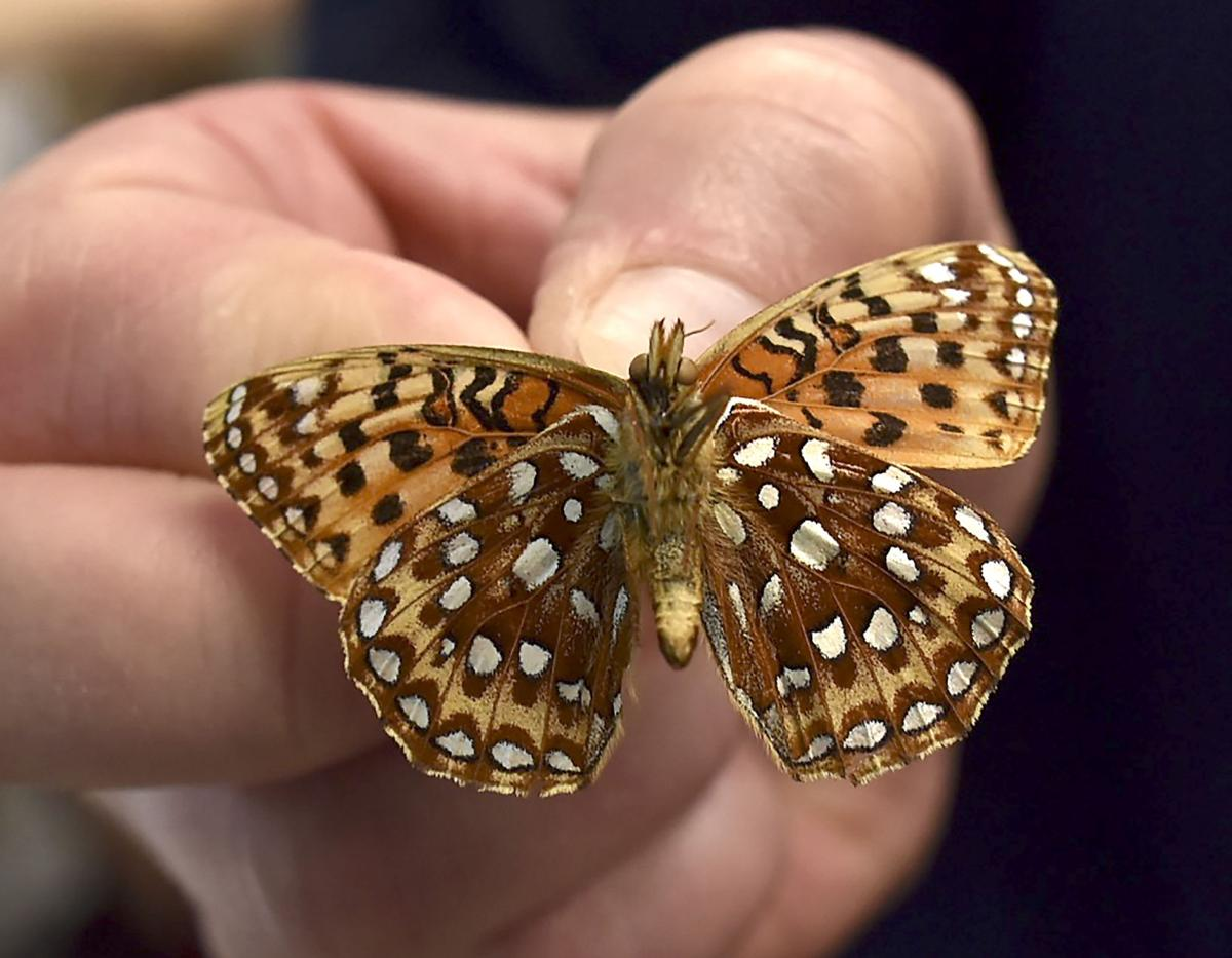 Rare insect returns to Saddle Mountain