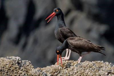 Seabirds are hatching at Haystack Rock