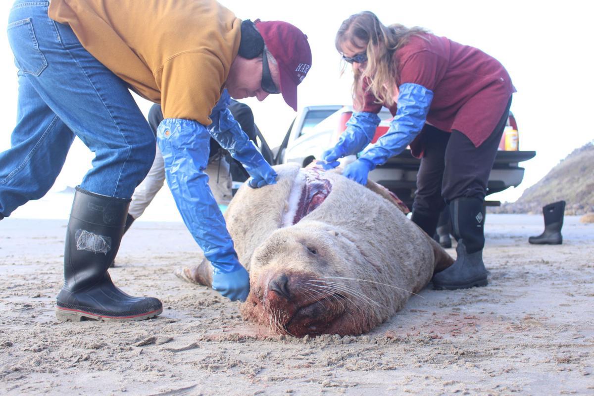Dead sea lion washes ashore in Cannon Beach