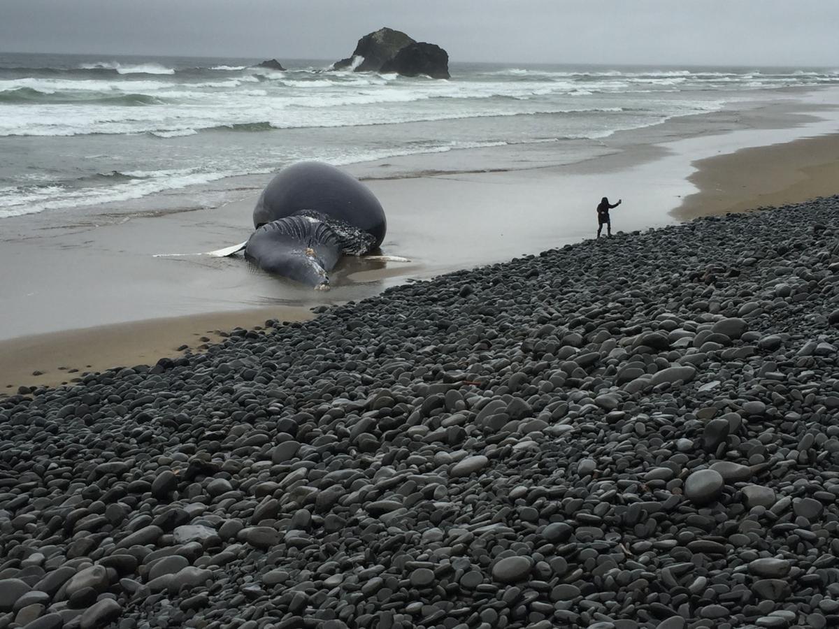 Dead whale washes ashore in Arch Cape