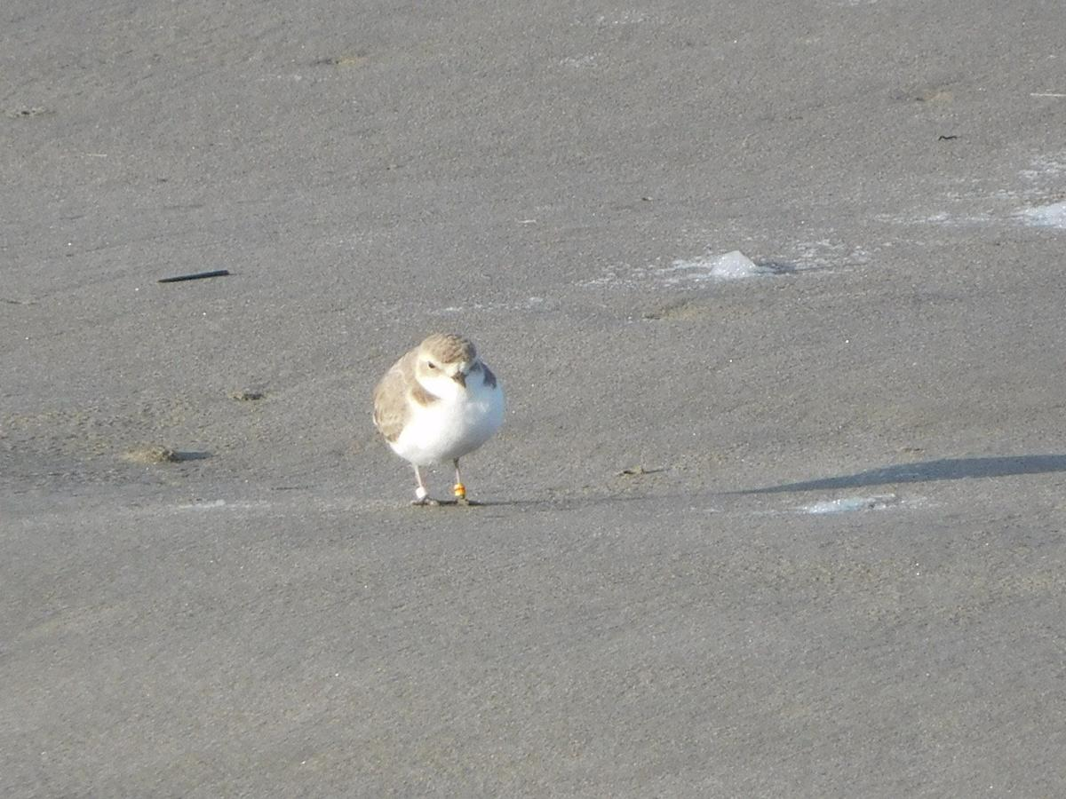 Snowy plovers in Gearhart, but will they nest?