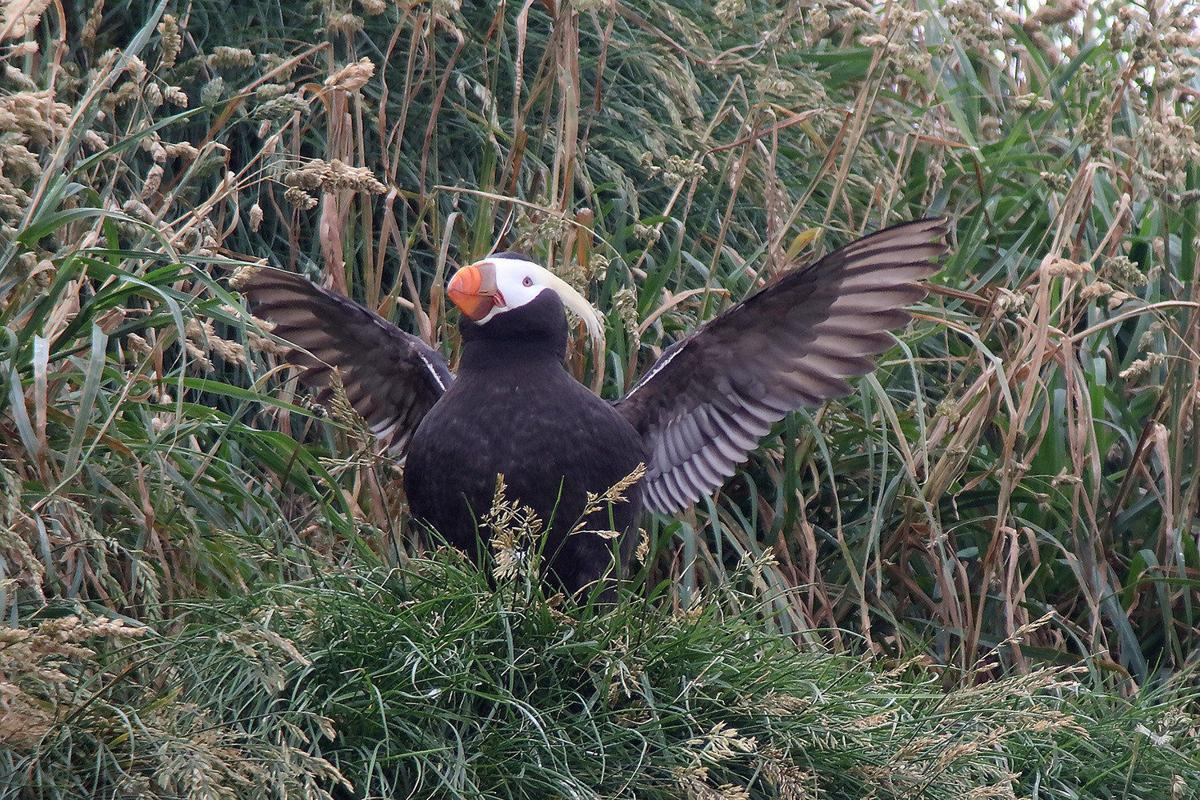In puffin country, Cannon Beach may fete a red-winged blackbird