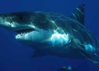 Dead sea lions, seals the work of great white shark