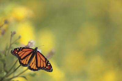 Home gardeners are vital in sustaining the Monarch Butterfly