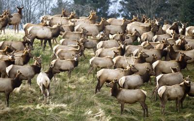 Police, state urge people to steer clear of elk
