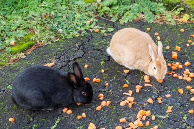 The case of the vanishing bunnies