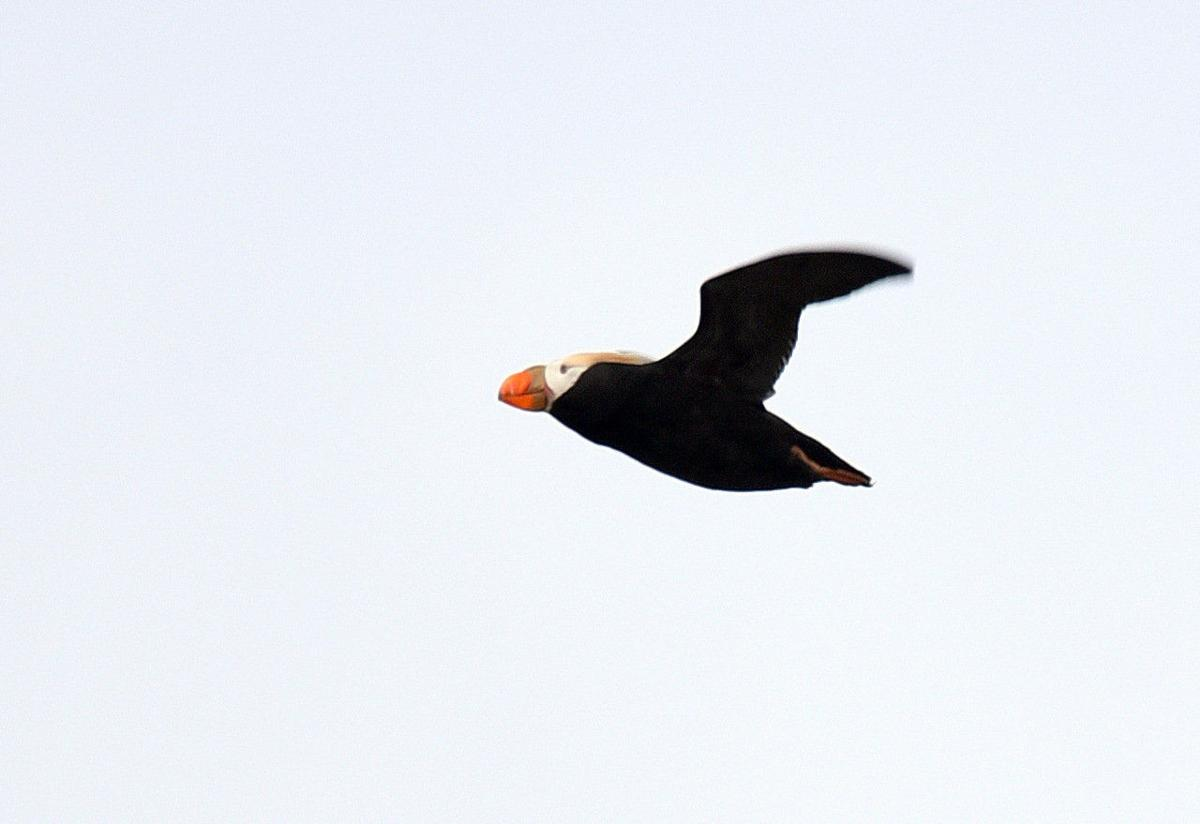 Donations fund puffin research at Haystack Rock