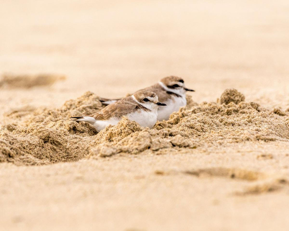 Snowy plovers spotted in Fort Stevens