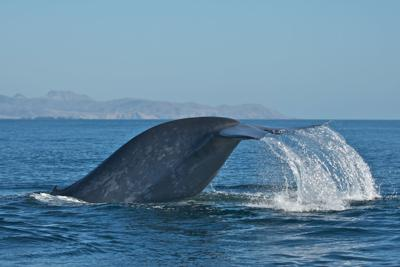 Whale tail