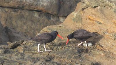 Black Oystercatchers_Friends of Cape Falcon MR.jpg