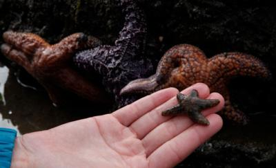A baby boom is helping West Coast starfish recover