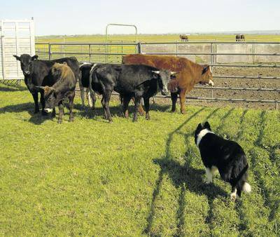Breeders: Trials improve quality of stock dogs