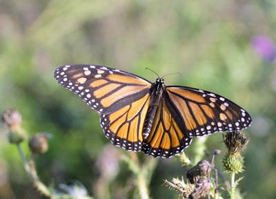 Monarch butterfly lawsuit has GMO implications