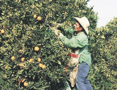 Growers: Navel crop among best ever