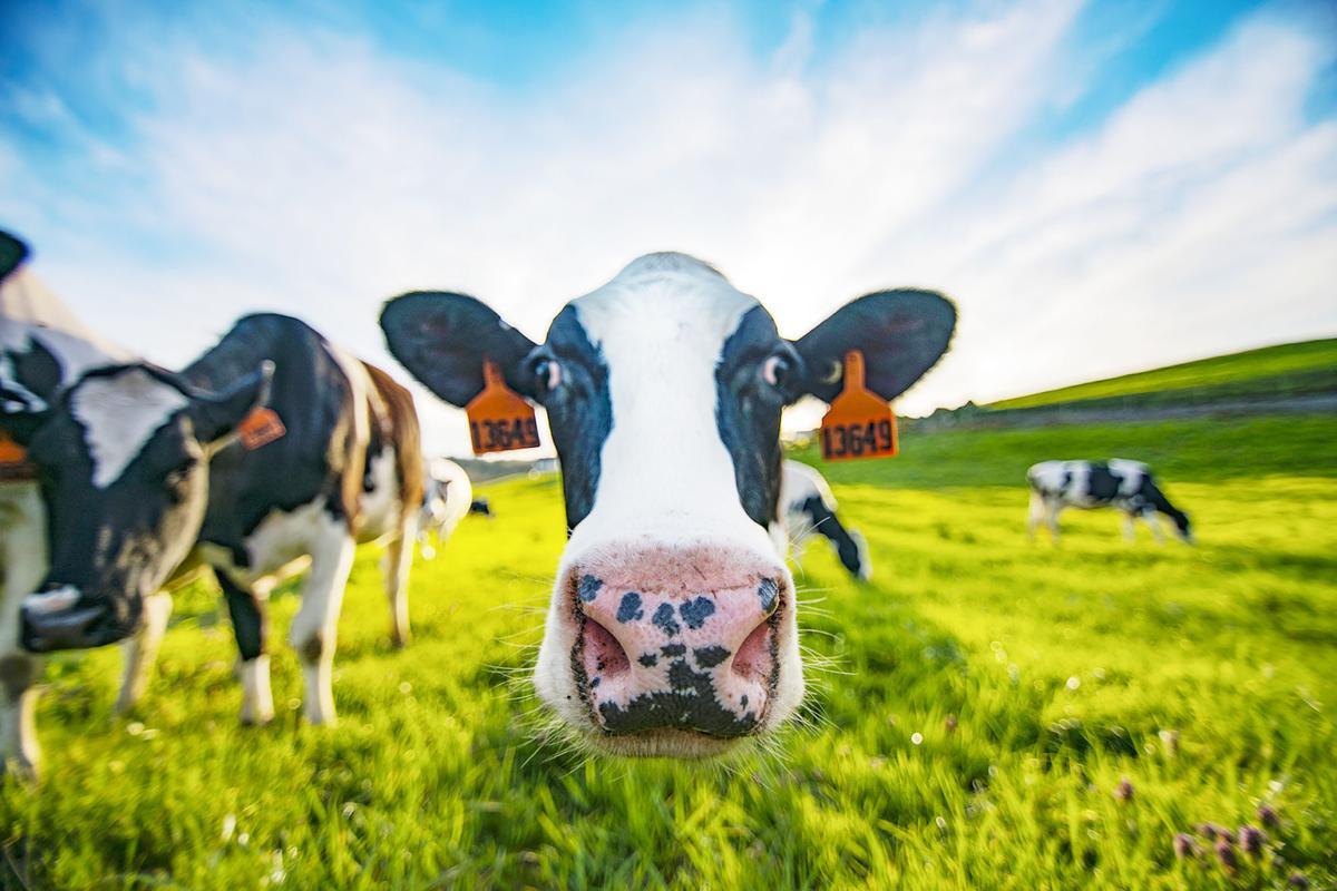 Cows graze at Beaver Creek Dairy