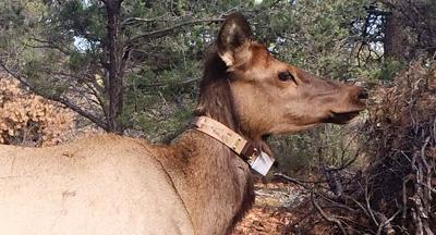 Elk with radio collar