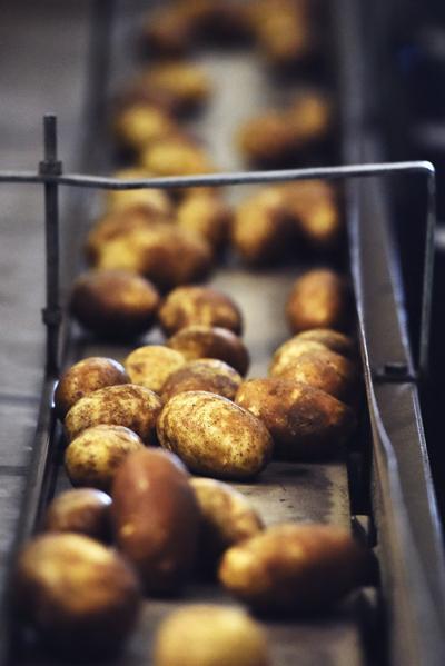 Potato sorting